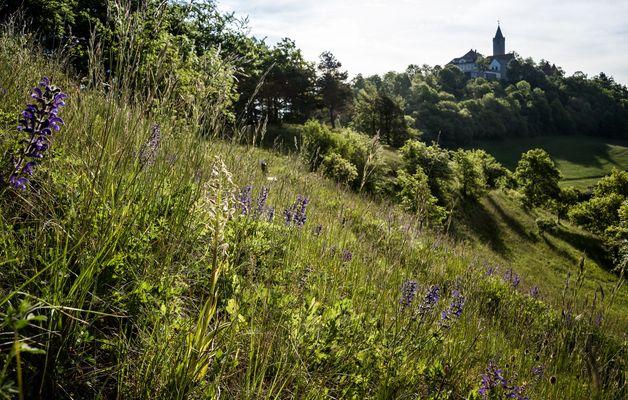Bocks-Riemenzunge unter der Burg