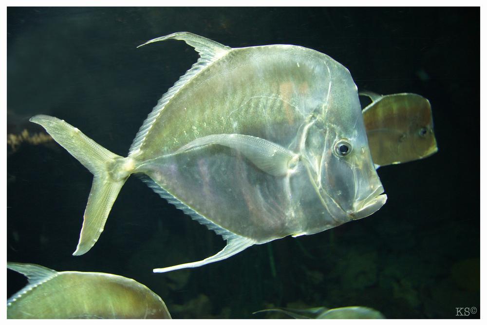 Bodengucker Makrele