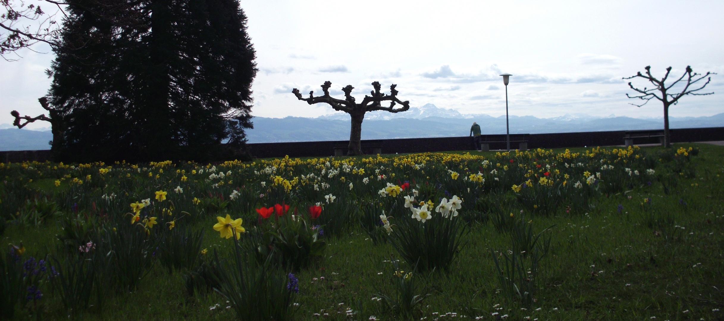 Bodensee - Langenargen - Blumenwiese im März