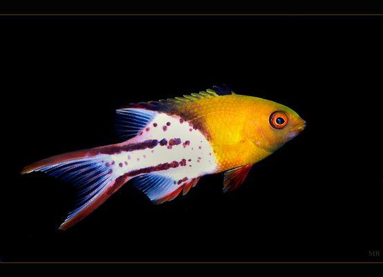 Bodianus anthioides (Zweifarben-Schweinslippfisch)