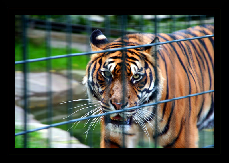 Böse Blicke - Tiger brauchen Freiraum