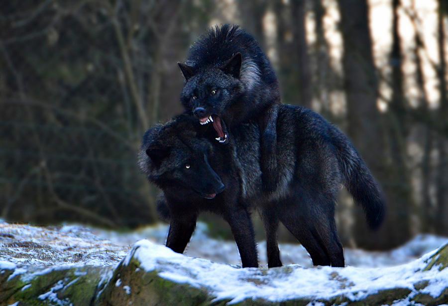 BÖSE Wolfsbrüder !!!