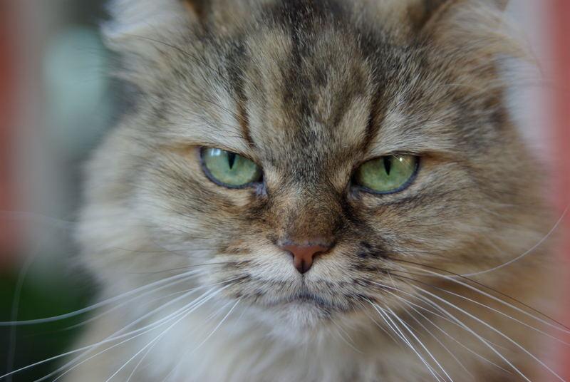 böser Katzenblick