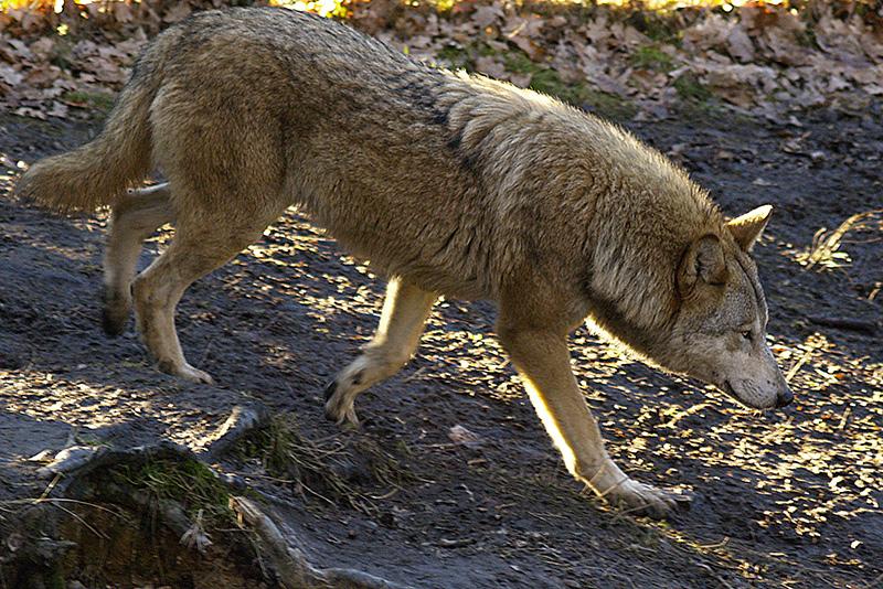 """""""Böser"""" Wolf"""