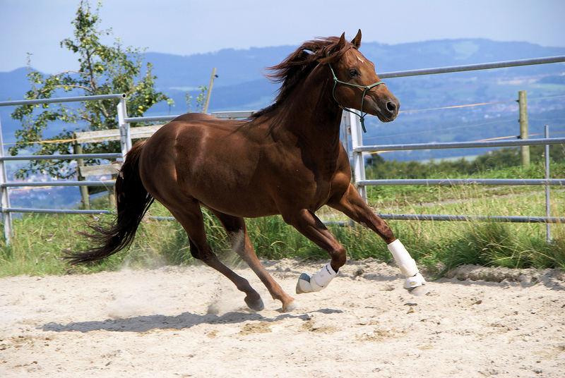 Boggie, Quarter-Horse-Hengst