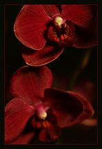 Bohemian Orchids 02