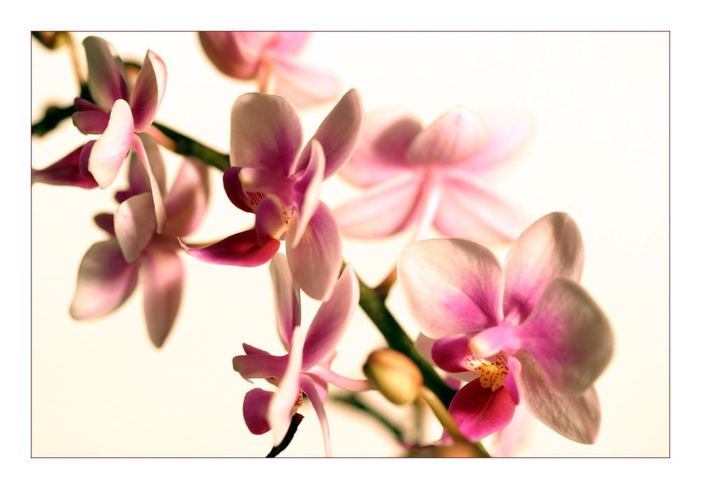 Bohemian Orchids 03