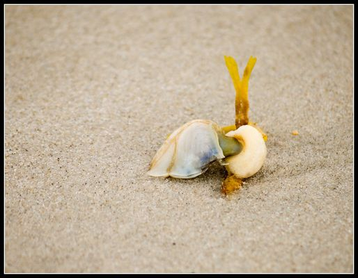 Bojenbildende Entenmuschel (Lepas fascicularis)