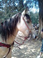 """""""bolillo"""" un caballo hermoso y dificil de montar......."""