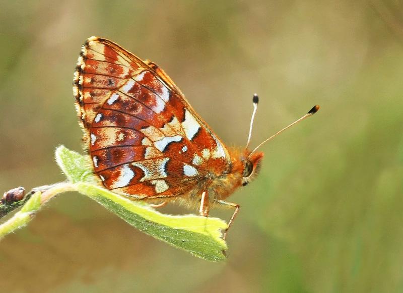 Boloria aquilonaris - Hochmoor-Perlmutterfalter