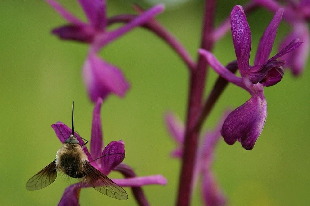 Bombyl et Orchidée