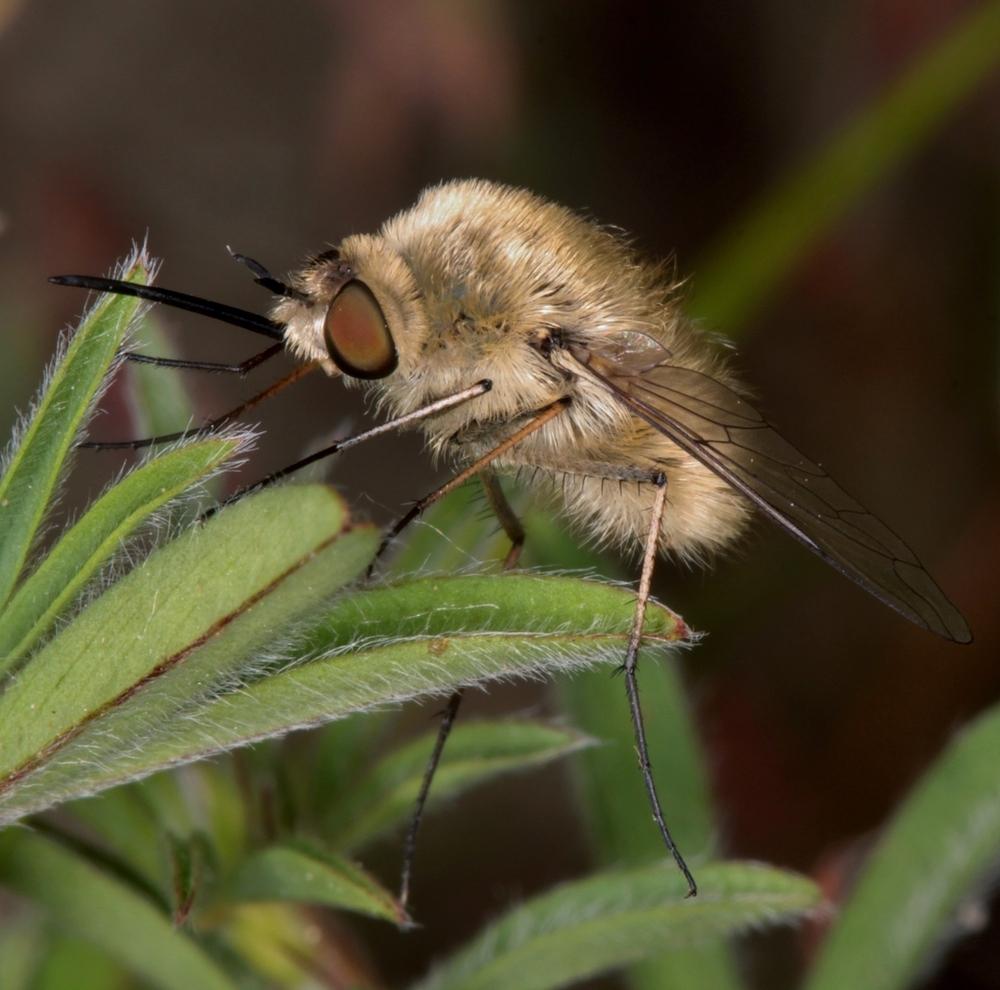 Bombylius cf. fulvescens Weibchen