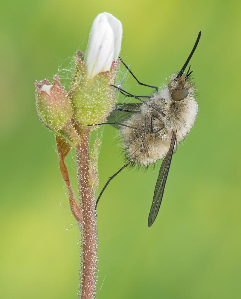 Bombylius posticus = Bombylius vulpinus
