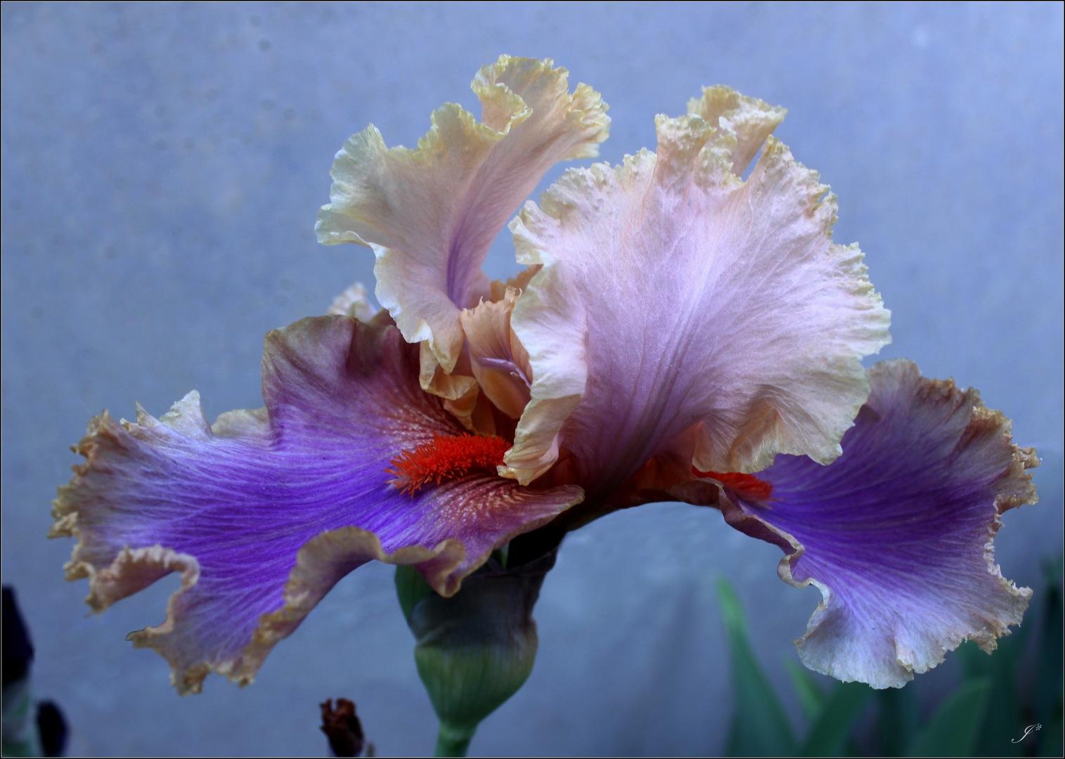 Bon anniversaire Iris