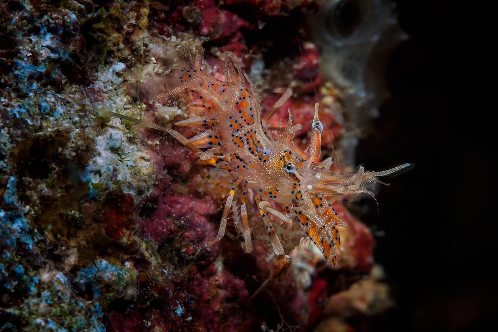 Bongo Bumble Bee Shrimp (Spiny Tiger Shrimp) - Phyllognathia ceratophthalma - Gehörnte Hummelgarnele