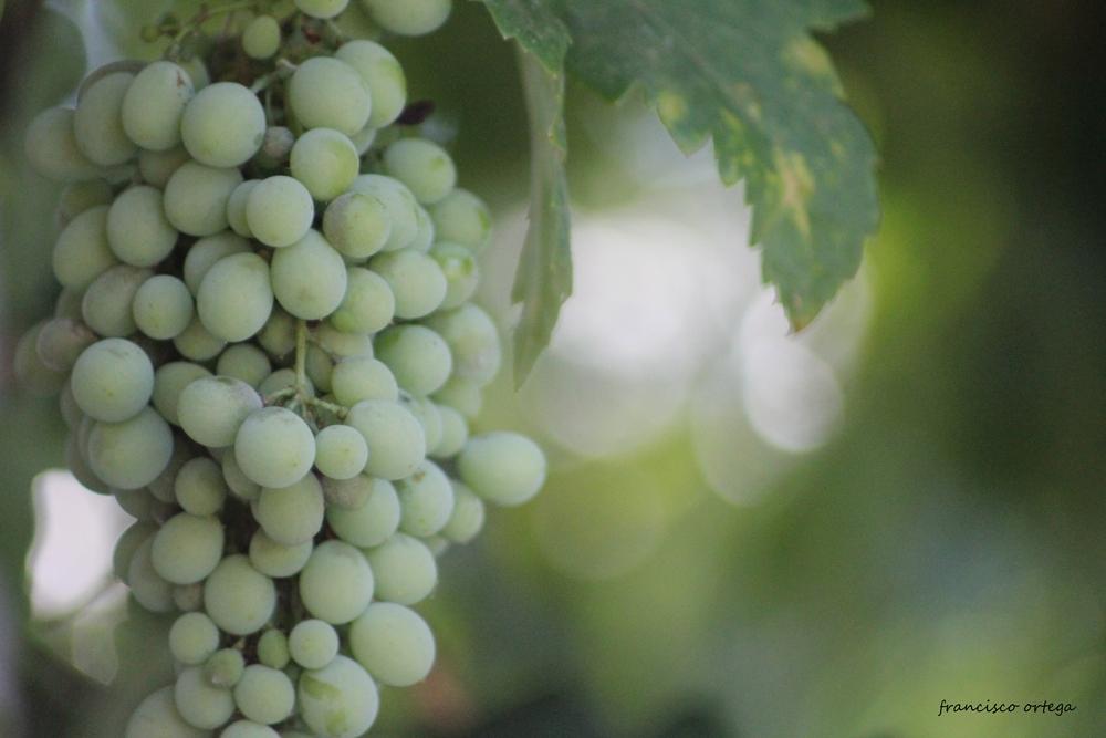 bonita uva
