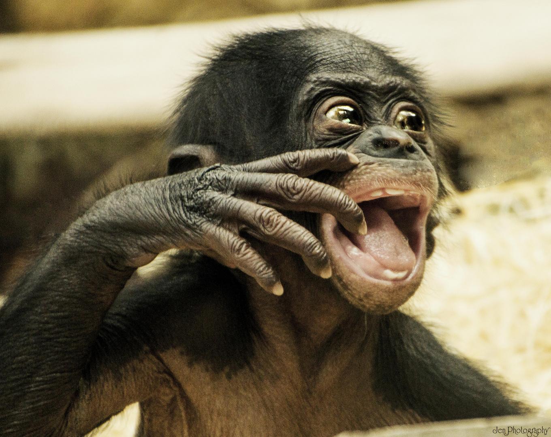 Bonobo-Baby in der Wilhelma Stuttgart