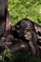 Bonobo-Baby Wilhelma Stuttgart