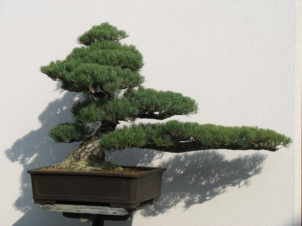 bonsai aus dem japanischen garten in bad langensalza foto. Black Bedroom Furniture Sets. Home Design Ideas