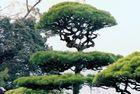 Bonsai Baum in der HIMEJI Burganlage