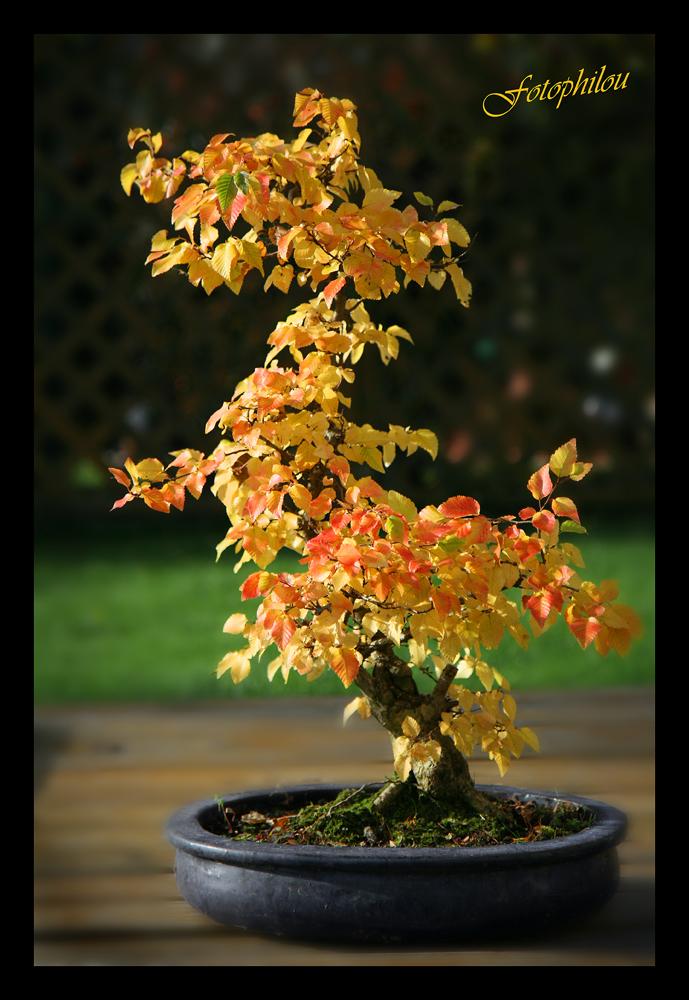 Bonsai Carpinus laxiflora