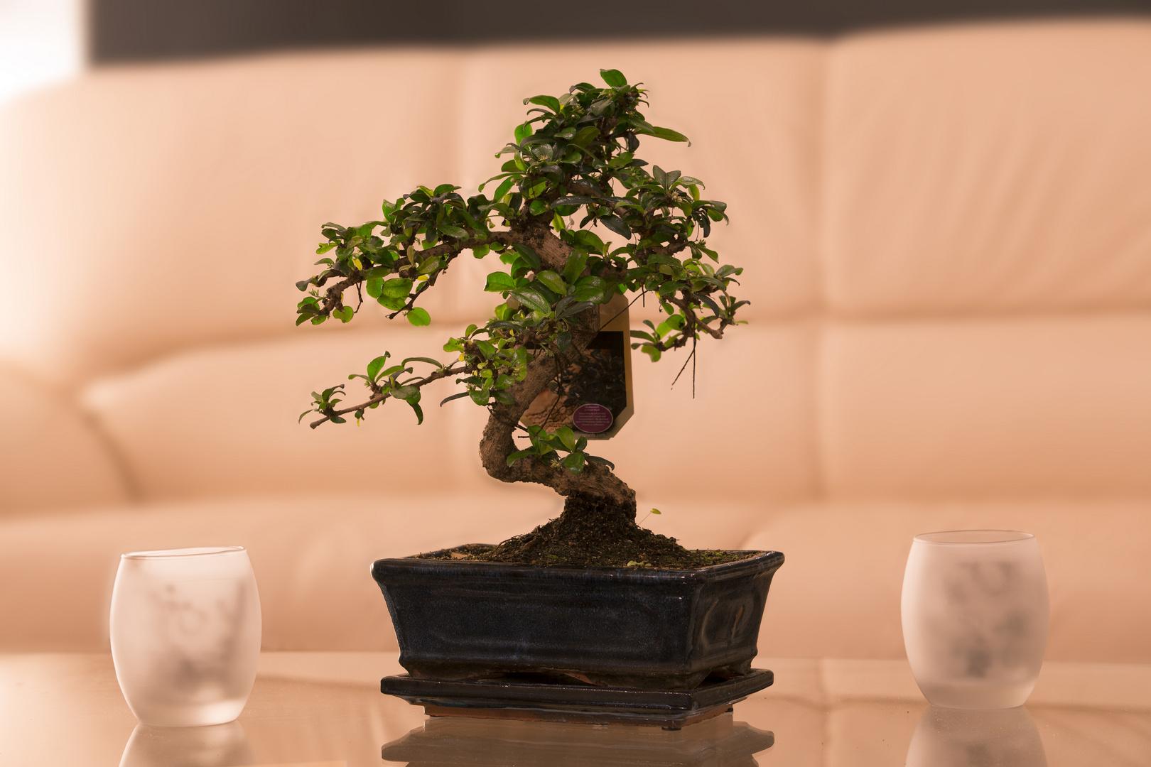 Bonsai im Wohnzimmer