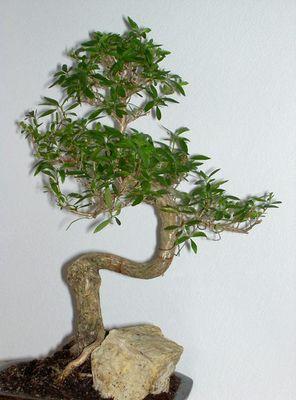 """Bonsaibaum """"Junischnee"""""""