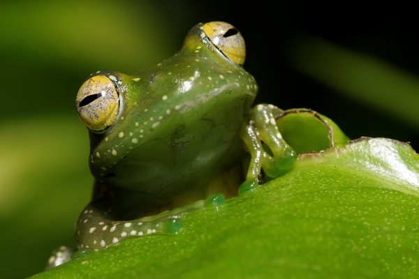 Boophis sibilens