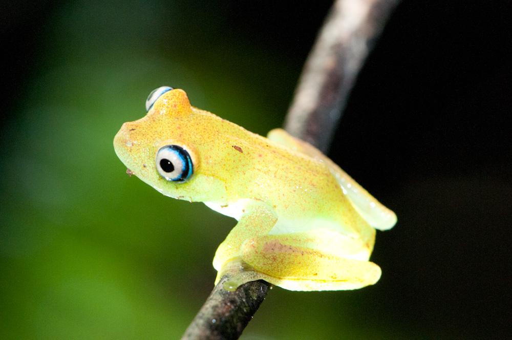 Boophis viridis II
