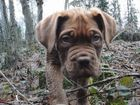 Bordeaux Dogge Welpe im Herbst