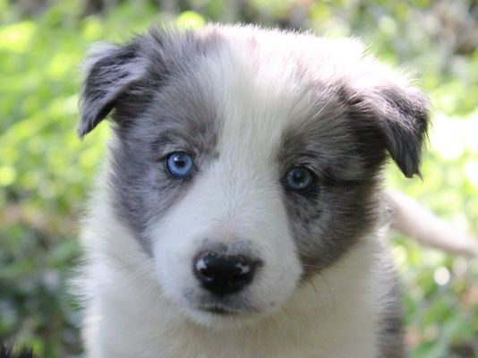 border collie bleu merle