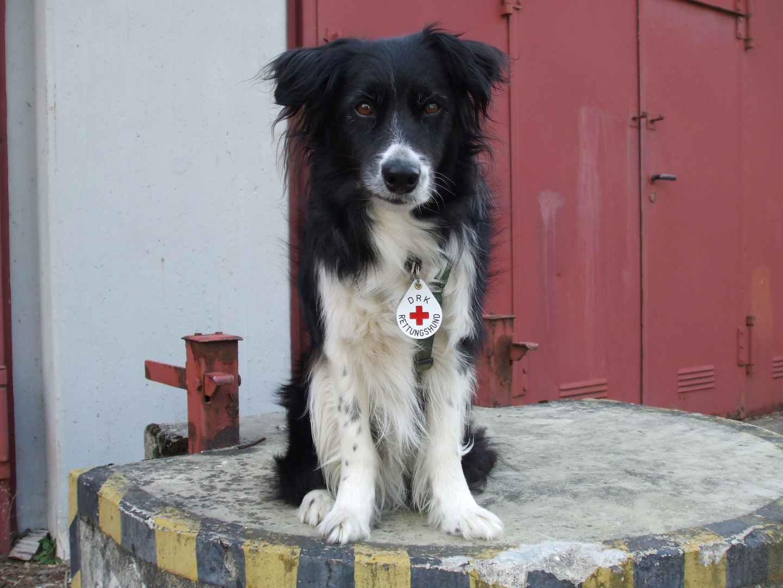 Border Collie - Chason - Rettungshund