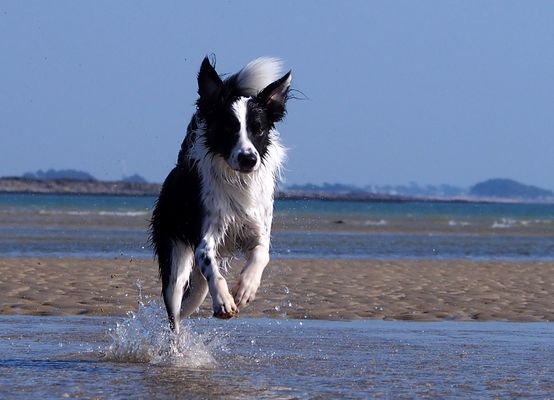 Border collie en action!