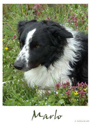 Border Collie, Familienhund, Freund