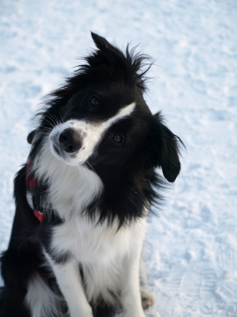 border collie fiby schaut s - Bordre Bad Bilder