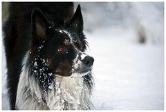 Border Collie im Schnee, oder....