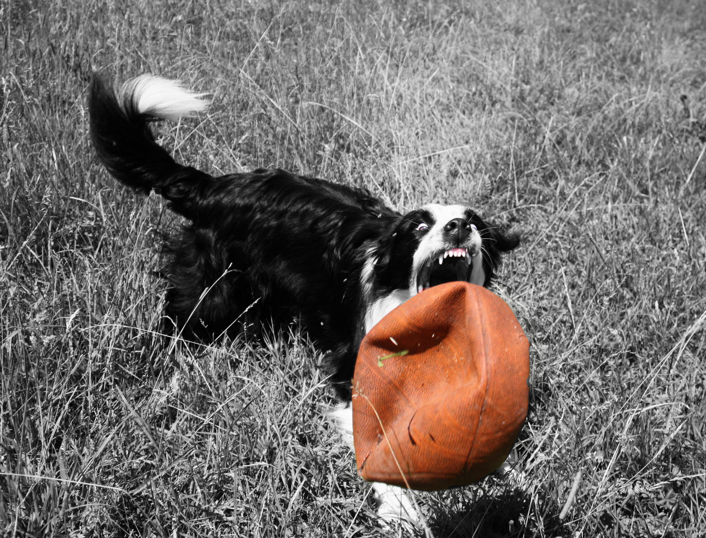 Border Collie in Action