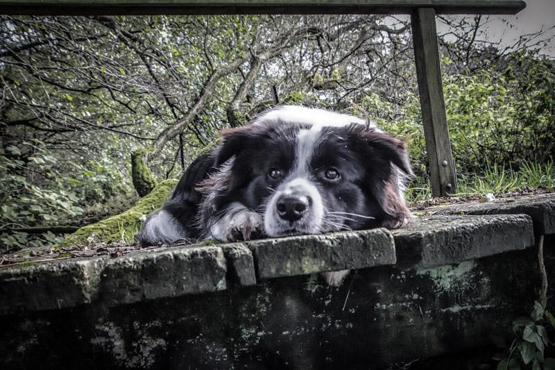 Border Collie Lou und seine alte Brücke