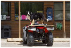 Border Collie, oder...