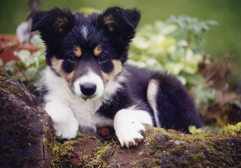 border collie puppy i foto & bild | ü500, natur bilder auf ... - Bder Braun
