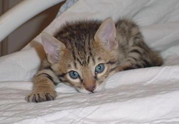 Bored Bengal Kitten