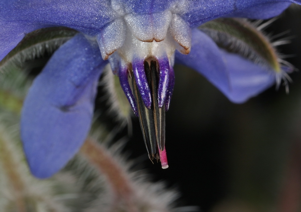 Boretsch. Borago officinalis, Blüte, Detail