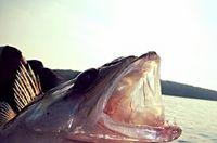 Borgfisch