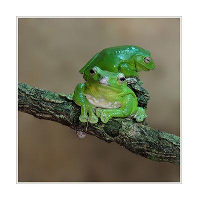 Borneo Flugfrosch-Wallace-Flugfrosch