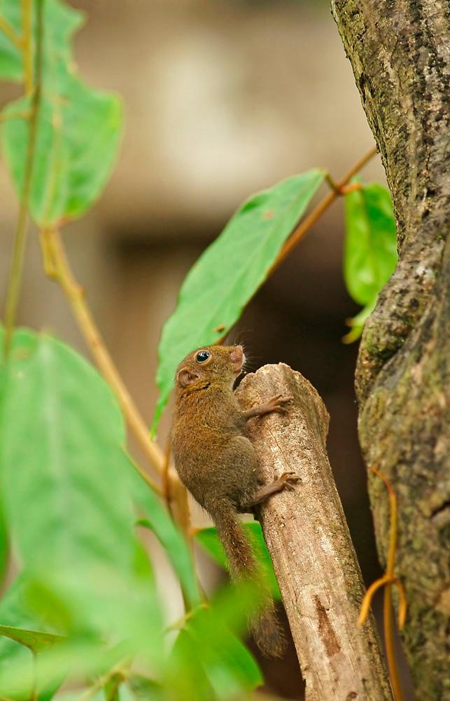 Borneo-Kleinsthörnchen