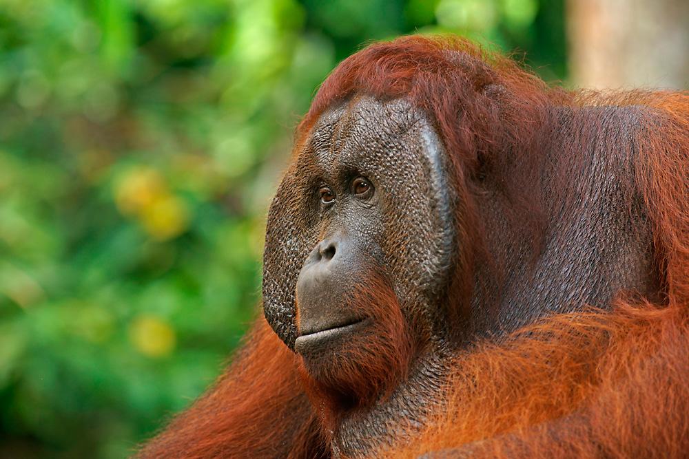 Borneo-Orang-Utan Männchen
