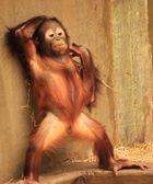 Borneo-Orang-Utan Zoo Krefeld