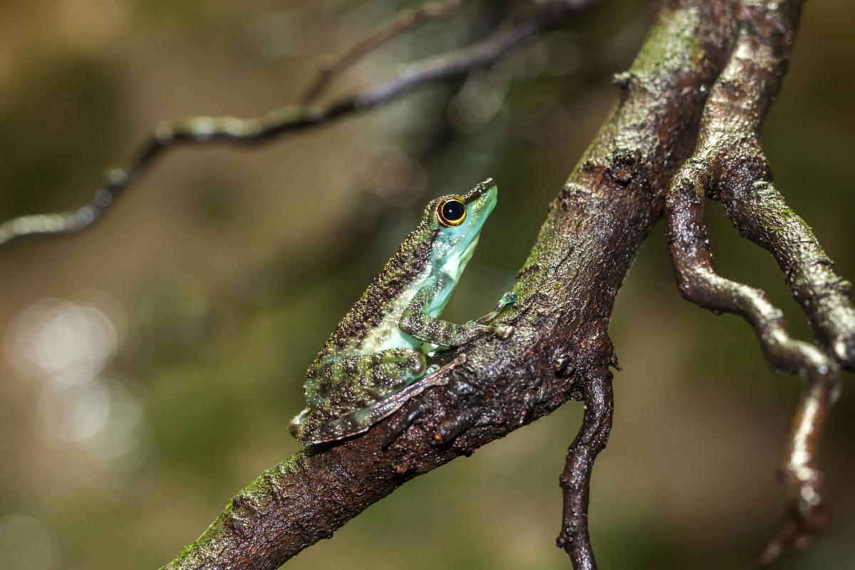 Borneo Winkerfrosch _ Staurois guttatus