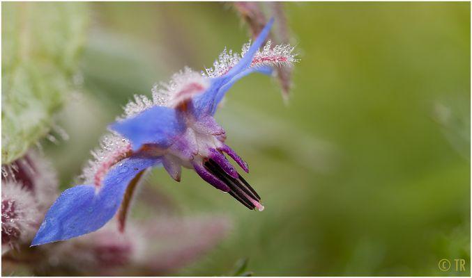 Borretsch-Blüte