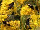 Borstige Dolch-Wespen auf einer Goldrute